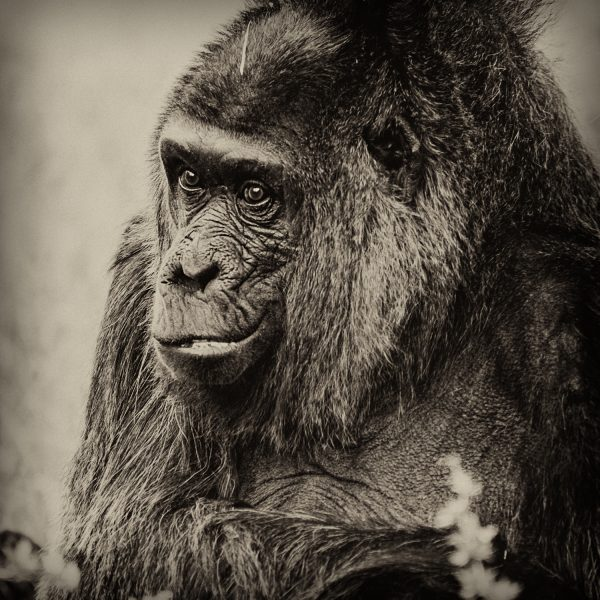 chimpanzee – Forster Zoography & KyprisAthina Pictures